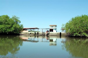 Shrimp farm buildings glimpsed through gaps in the mangrove ´beauty screen.´