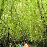Giant mangroves of the Esmeraldas