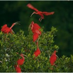 Tim Laman's stunning picture of scarlet ibises in Trinidad ran in the National Geographic mangrove story in 2007.