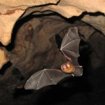 With a wingspan of about 12 cm, the butterfly bat is said to be the smallest in the world.