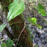 Epiphytes on the mangroves are a feature of Panama.