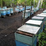 Beehives ready for collection of mangrove honey.