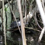 Freshwater turtle warming itself on a mangrove root in the Hatiguanica River.