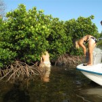 One end of the net is tied to the mangroves, a vital nursery habitat for lemon sharks.