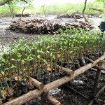 Juliana Chavarria with mangrove nursery.