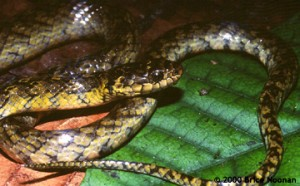 liophis-cobellus