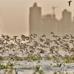 Two million shorebirds use the mudflats of the Bay of Panama as a migratory stopover.