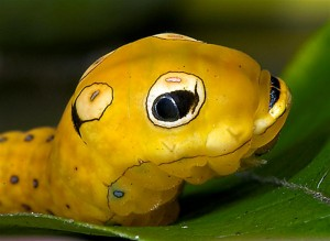 Spicebush swallowtail larva looks more like something from Disney than nature.